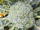 biologische-broccoli-velhorst