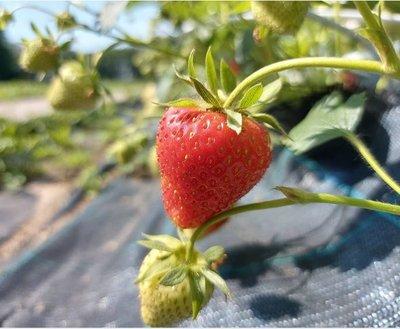 aardbeien - 't paradijs - 250 gram