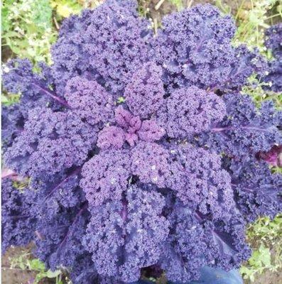 boerenkool paars - 't paradijs - 500 gram
